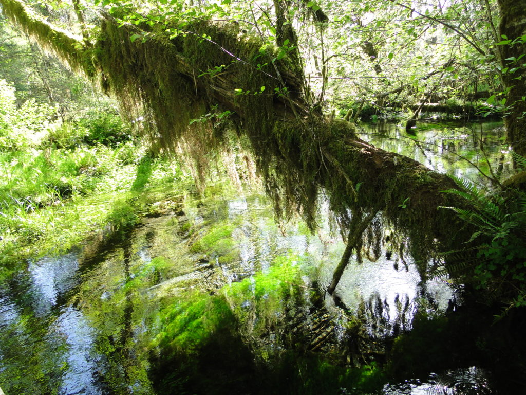Scenery along the Hall of Mosses Trail - Hoh Rain Forest in the Olympic National Park, State of Washington