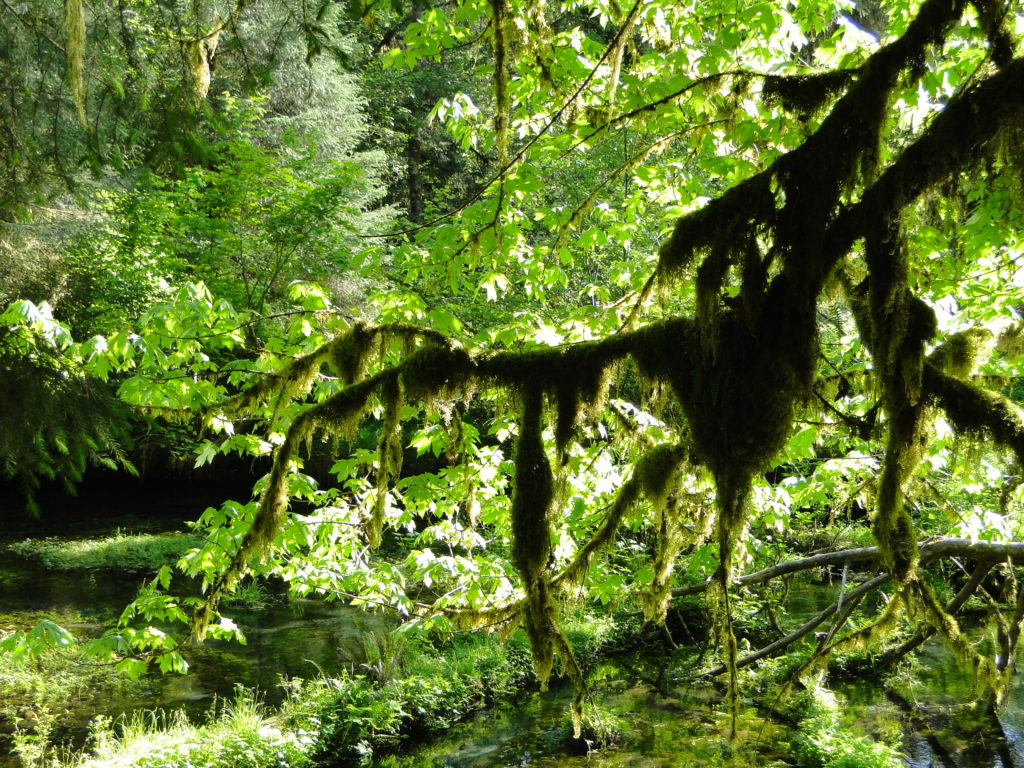 Hall of Mosses Trail at the Hoh Rain Forest - Olympic National Park, Washington