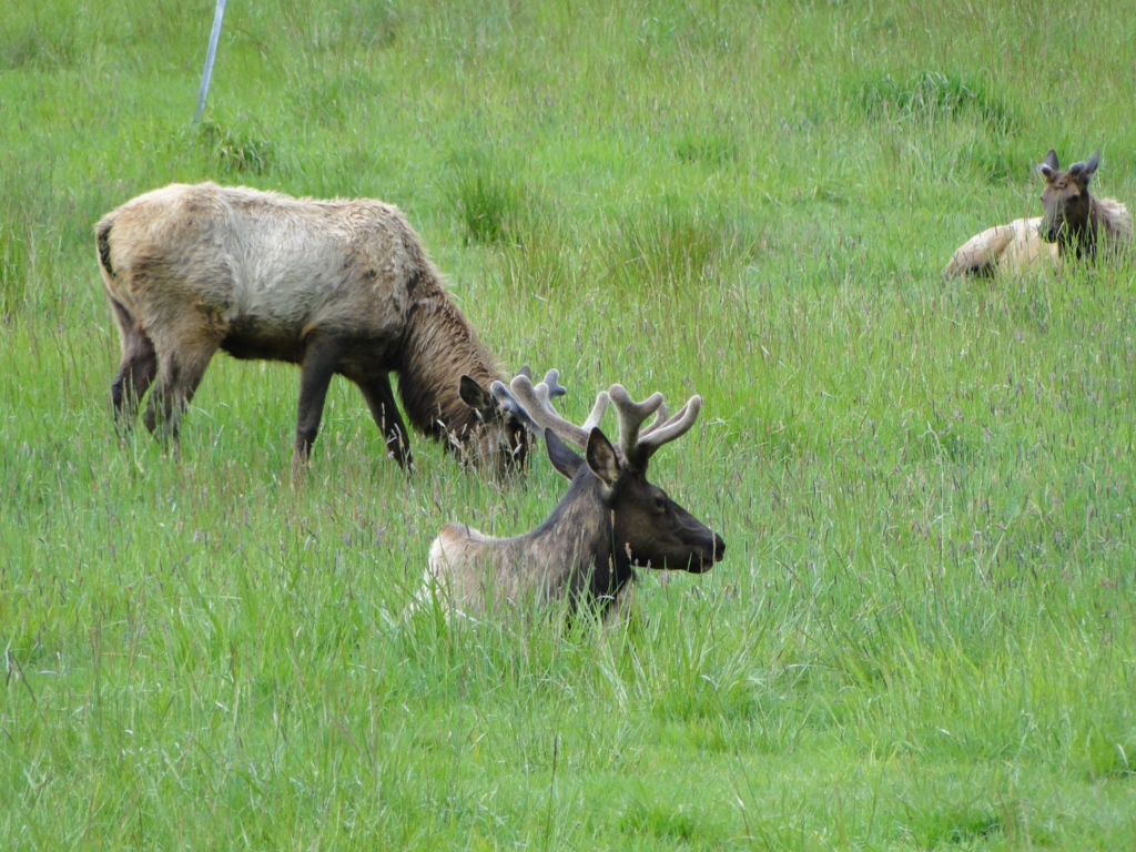Elks in Elkton, Oregon